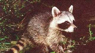 Raccoon - 1797654