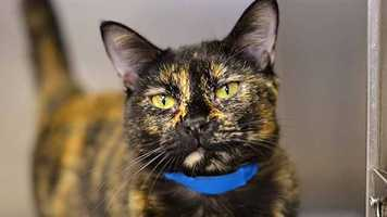Adele (A0248322) – 2 year old female Domestic Shorthair. Learn all about me by clicking on my link! http://www.petharbor.com/pet.asp?uaid=PBHS.A0248322 If you are interested in adopting me, please come visit me at Peggy Adams Animal Rescue League or call their Adoption Department at 561-686-6656. View my other kitty friends available for adoption at http://www.peggyadams.org/index.cfm?fuseaction=pages.adoptable-cats