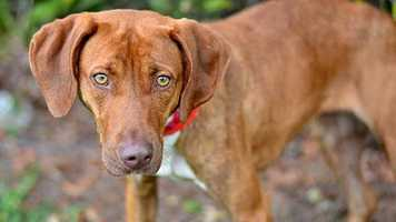 Tilly (A0265781) – 2 year old 37 lb. female mixed breed. Learn all about me by clicking on my link!  If you are interested in adopting me, please come visit me at Peggy Adams Animal Rescue League or call their Adoption Department at 561-686-6656. View my other doggy friends available for adoption HERE.