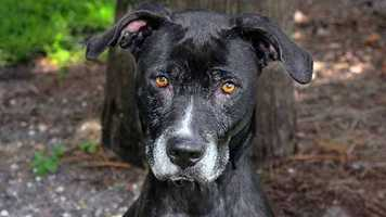 Lisa (A0266831) – 6 year old 56 lb. female mixed breed. Learn all about me by clicking on my link! If you are interested in adopting me, please come visit me at Peggy Adams Animal Rescue League or call their Adoption Department at 561-686-6656. View my other doggy friends available for adoption HERE.