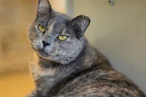 Dusty (A0266810) –4 year old female Domestic Shorthair. Learn all about me by clicking on my link! If you are interested in adopting me, please come visit me at Peggy Adams Animal Rescue League or call their Adoption Department at 561-686-6656. View my other kitty friends available for adoption HERE.