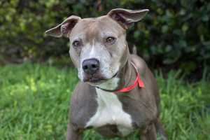 Sasha (A0282916) – 6 year old 45 lb. female mixed breed. Learn all about me by clicking on my link! If you are interested in adopting me, please come visit me at Peggy Adams Animal Rescue League or call their Adoption Department at 561-686-6656. View my other doggy friends available for adoption HERE.