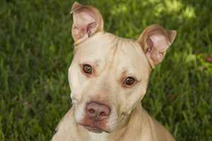 Broosker (A0284335) – 3 year old 68 lb. male mixed breedLearn all about me by clicking on my link! If you are interested in adopting me, please come visit me at Peggy Adams Animal Rescue League or call their Adoption Department at 561-686-6656. View my other doggy friends available for adoption HERE.