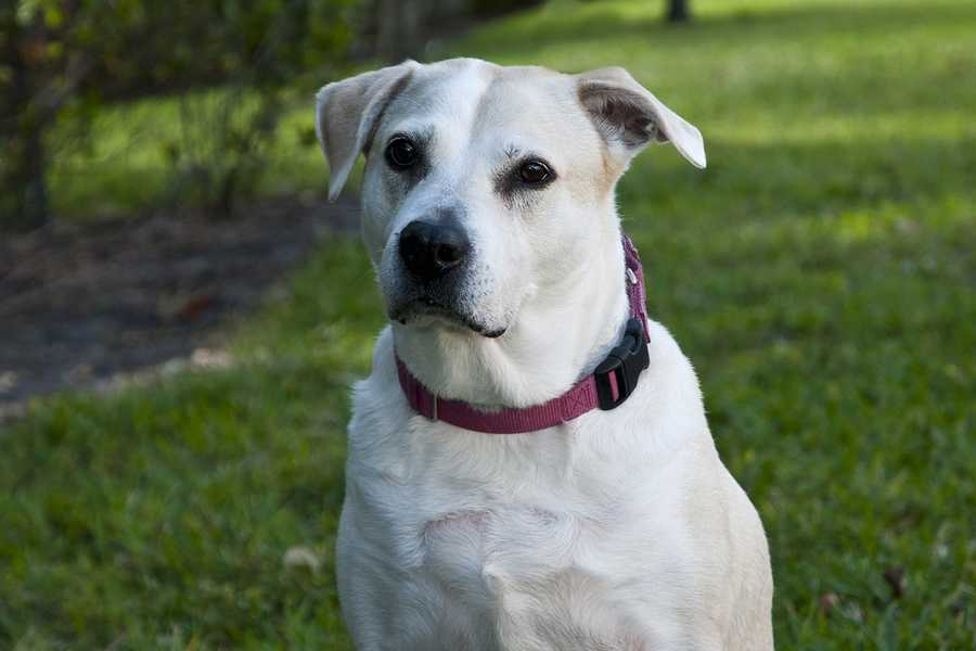 Dixie (A0209031) – 8 year old 78 lb. female mixed breedLearn all about me by clicking on my link! If you are interested in adopting me, please come visit me at Peggy Adams Animal Rescue League or call their Adoption Department at 561-686-6656. View my other doggy friends available for adoption at HERE.