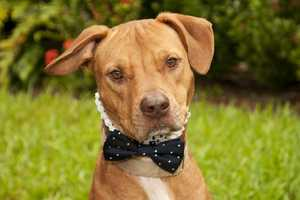 Bruno (A0281877) – 2 year old 56 lb. male mixed breedLearn all about me by clicking on my link! If you are interested in adopting me, please come visit me at Peggy Adams Animal Rescue League or call their Adoption Department at 561-686-6656. View my other doggy friends available for adoption at HERE.