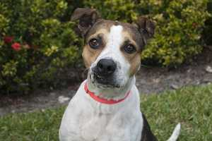 Margo (A0286834) – 5 year old 45 lb. female mixed breedLearn all about me by clicking on my link! If you are interested in adopting me, please come visit me at Peggy Adams Animal Rescue League or call their Adoption Department at 561-686-6656. View my other doggy friends available for adoption HERE.