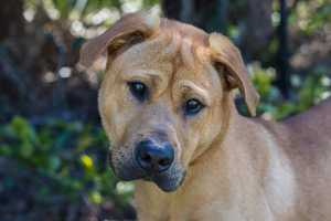 Henry (A0286618) – 1 year old 53 lb. male mixed breedLearn all about me by clicking on my link! If you are interested in adopting me, please come visit me at Peggy Adams Animal Rescue League or call their Adoption Department at 561-686-6656. View my other doggy friends available for adoption at HERE.