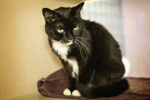 Bella (A0286065) – 10 year old female Domestic ShorthairLearn all about me by clicking on my link! If you are interested in adopting me, please come visit me at Peggy Adams Animal Rescue League or call their Adoption Department at 561-686-6656. View my other kitty friends available for adoption at HERE.