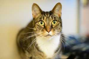 Dexter (A0195391) – 4 year old male Domestic ShorthairLearn all about me by clicking on my link! If you are interested in adopting me, please come visit me at Peggy Adams Animal Rescue League or call their Adoption Department at 561-686-6656. View my other kitty friends available for adoption at HERE.