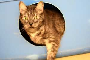 Lucky (A0287057) – 8 year old male Domestic ShorthairLearn all about me by clicking on my link! If you are interested in adopting me, please come visit me at Peggy Adams Animal Rescue League or call their Adoption Department at 561-686-6656.View my other kitty friends available for adoption at HERE.