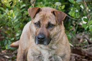 Lacy (A0269215) – 3 year old 54 lb. female mixed breedLearn all about me by clicking on my link! If you are interested in adopting me, please come visit me at Peggy Adams Animal Rescue League or call their Adoption Department at 561-686-6656. View my other doggy friends available for adoption HERE.