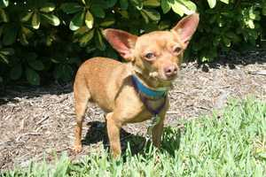 Hubie (A0293267) – 3 year old 9 lb. male mixed breedLearn all about me by clicking on my link! If you are interested in adopting me, please come visit me at Peggy Adams Animal Rescue League or call their Adoption Department at 561-686-6656. View my other doggy friends available for adoption at HERE.