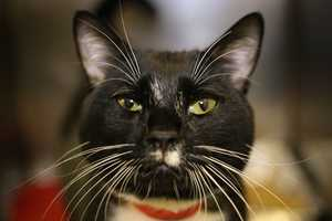 Moustachio (A0290027) – 3 year old male Domestic ShorthairLearn all about me by clicking on my link! If you are interested in adopting me, please come visit me at Peggy Adams Animal Rescue League or call their Adoption Department at 561-686-6656. View my other kitty friends available for adoption at HERE.