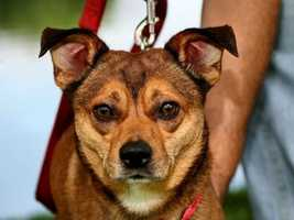 Nikko (A0177532) – 8 year old 22 lb. male mixed breedLearn all about me by clicking on my link! If you are interested in adopting me, please come visit me at Peggy Adams Animal Rescue League or call their Adoption Department at 561-686-6656. View my other doggy friends available for adoption at HERE.