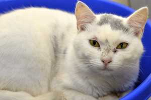 Arella (A0286165) – 1 year old female Domestic ShorthairLearn all about me by clicking on my link! If you are interested in adopting me, please come visit me at Peggy Adams Animal Rescue League or call their Adoption Department at 561-686-6656. View my other kitty friends available for adoption at HERE.