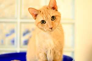 Axl (A0290400) – 15 year old male Domestic ShorthairLearn all about me by clicking on my link! If you are interested in adopting me, please come visit me at Peggy Adams Animal Rescue League or call their Adoption Department at 561-686-6656. View my other kitty friends available for adoption at HERE.