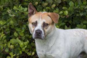 Bobby (A0271536) –2 year old 47 lb. male mixed breedLearn all about me by clicking on my link! If you are interested in adopting me, please come visit me at Peggy Adams Animal Rescue League or call their Adoption Department at 561-686-6656. View my other doggy friends available for adoption at HERE.