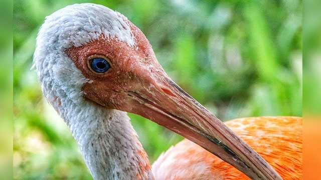 "An American white ibis bird that was painted orange was captured in Boca Raton following a two-day hunt. The bird, affectionately named Julius by photographer David Hager, was captured by Florida Fish and Wildlife Commission officials. Julius was taken to Busch Wildlife Sanctuary for rehabilitation. Ibis are protected in Florida. It is illegal to paint them and FWC refers to it as ""cruel to paint any wildlife."" If you have any information about this case, FWC officials urge you to call Wildlife Alert Hotline at 888-404-3922. Photo credit: David Hager 