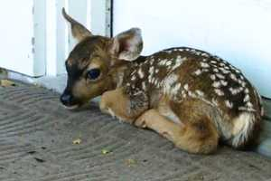James Chang looked out the window of his parent's Pacific Grove home Tuesday morning and saw a tiny fawn at the front door.  The white-spotted fawn had just been born and was sitting on a welcome mat.