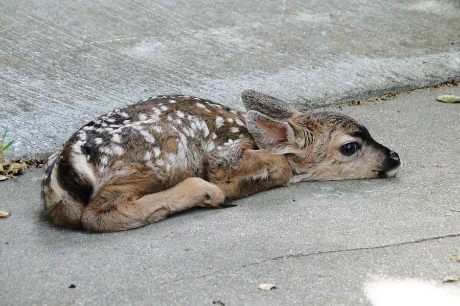Sure enough, the fawn peacefully slept on the mat while its mother grazed on a lawn next door on Seaview Avenue.