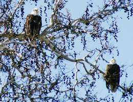 A bald eagle couple perches together. Photo by John F. Gay Jr.