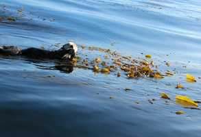 A sea otter swims in Monterey.