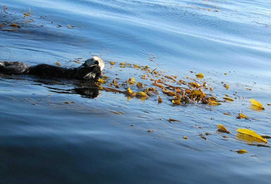 A sea otter swims in Monterey.