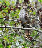 A Common Cuckoo is seen in Watsonville.