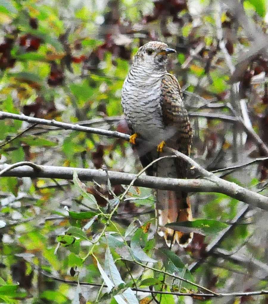 A Common Cuckoo is seen in Watsonville.