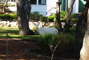 A pure white deer strolls through Monterey.