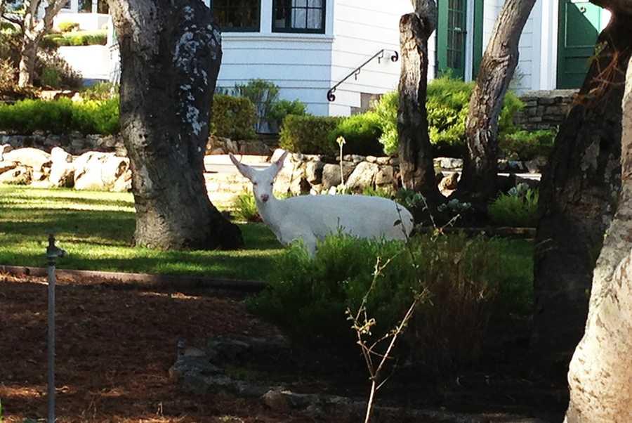 A pure white deer strolls through Monterey.