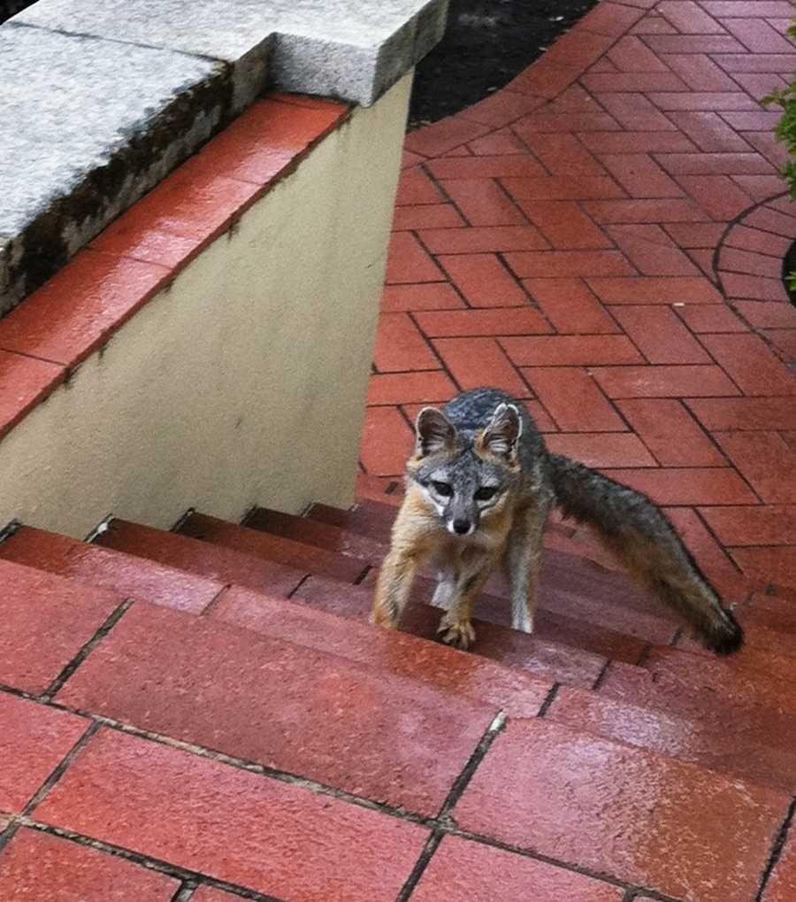 A gray fox strolls near Hearst Castle.