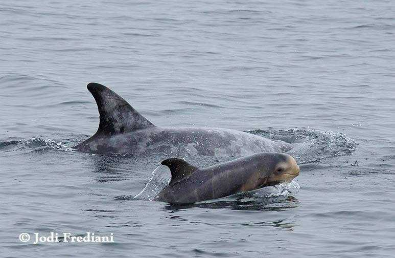 A risso dolphin calf surfaces for air alongside its mother in the Monterey Bay.