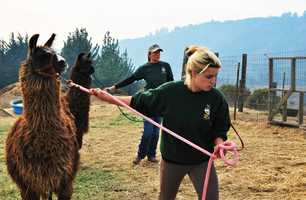 The SPCA for Monterey County rescued animals from the Pfeiffer Fire, including alpacas, goats, sheep, llamas, and chickens. If you need help evacuating your pets from Big Sur, call the SPCA at 831-373-2631.