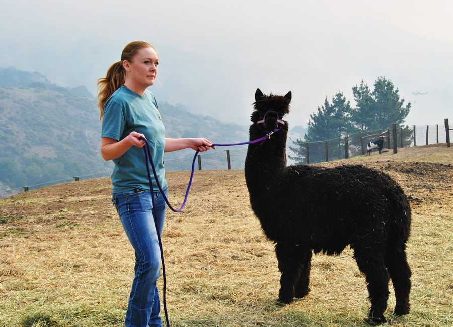 As the Pfeiffer Fire spread across 800 acres in Big Sur, the SPCA for Monterey County jumped into action and helped residents move large pets out of harm's way.
