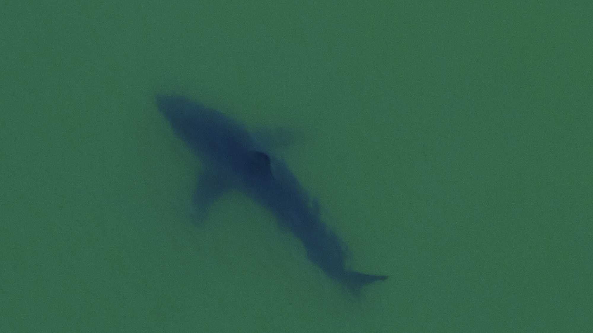 Great white sharks are seen swimming in Aptos.  (June 25, 2015)