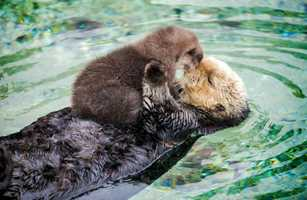 Aquarium trainer Dan Albro said mom's top priority is puffing up the baby's fur so that it will float like a cork. / December 2015