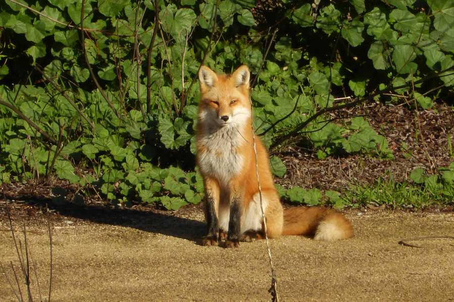 A red fox enjoyed basking in the sun in between storms on Jan. 18, 2016 by Gabilan Creek in Salinas.