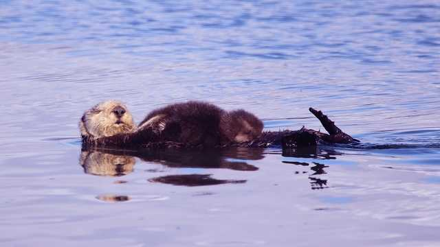 Tour boats see spike in otter pups at Elkhorn Slough
