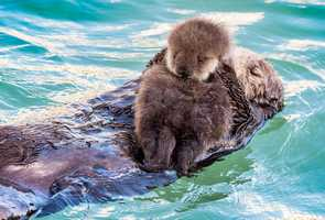 Wild sea otters used the Monterey Bay Aquarium's tide pool as a maternity ward and nursery in December 2015 and March 2016.