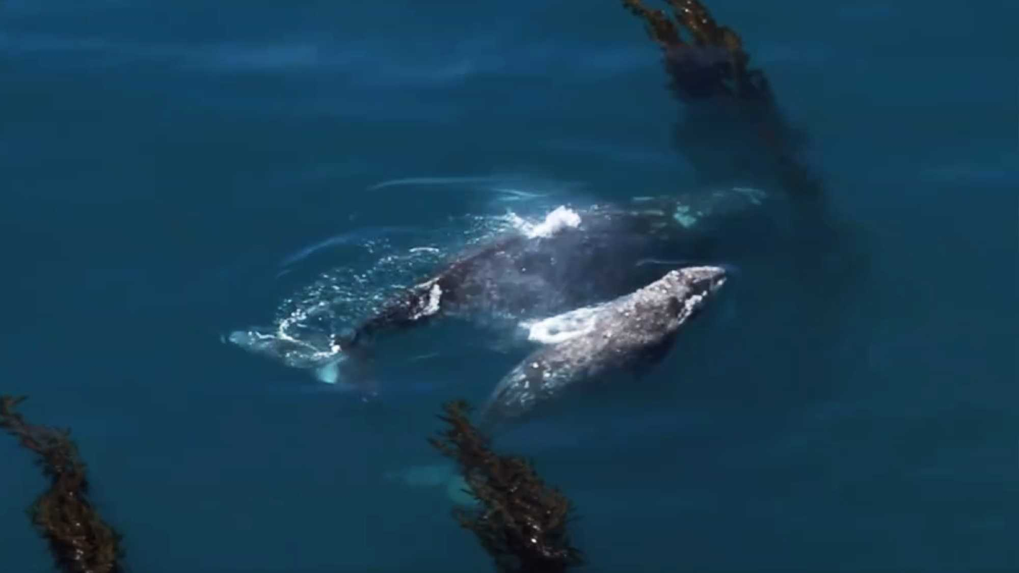 Gray whales in Big Sur