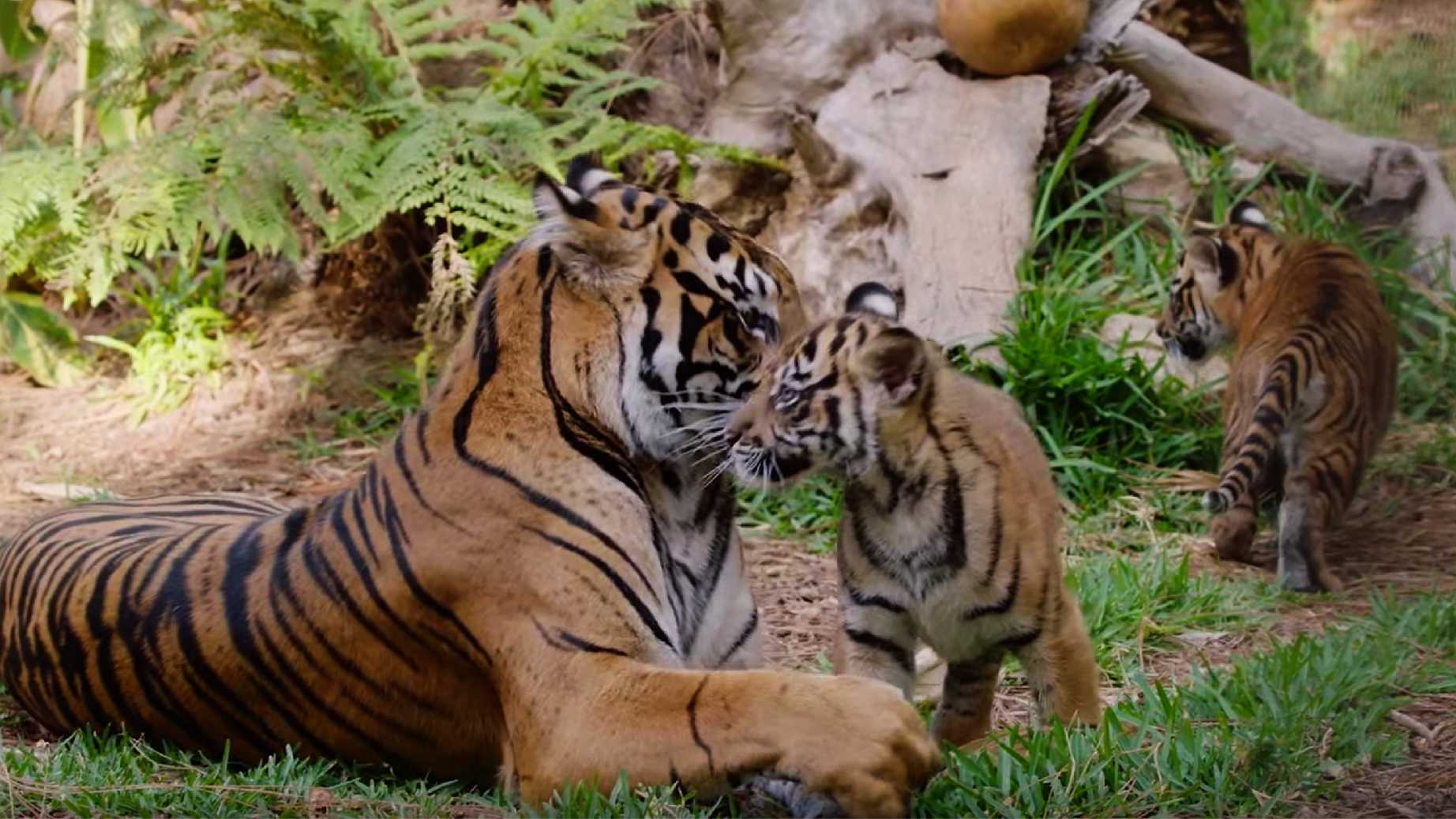 Joanne nuzzles with one of her cubs.