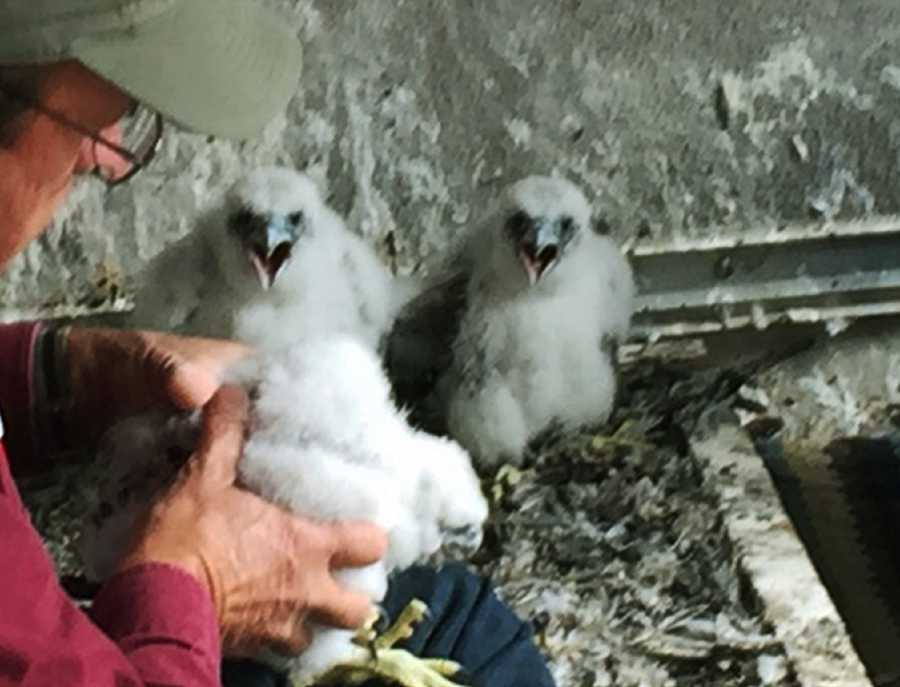 Soon the peregrine falcons will start learning to fly, and they will leave the nest box in about a month.