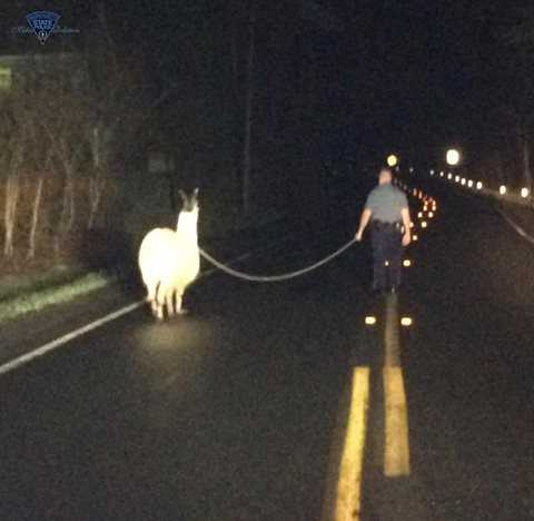 Llama on the lam: Trooper lassoes llama loose on roadway