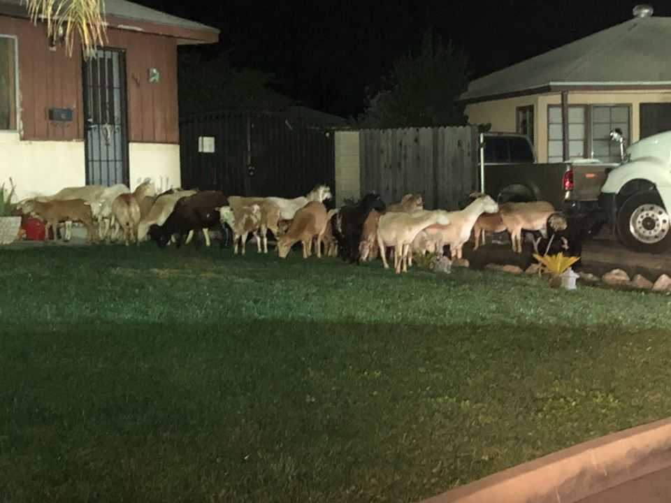 Donkey leads sheep, goats on midnight stroll through California town