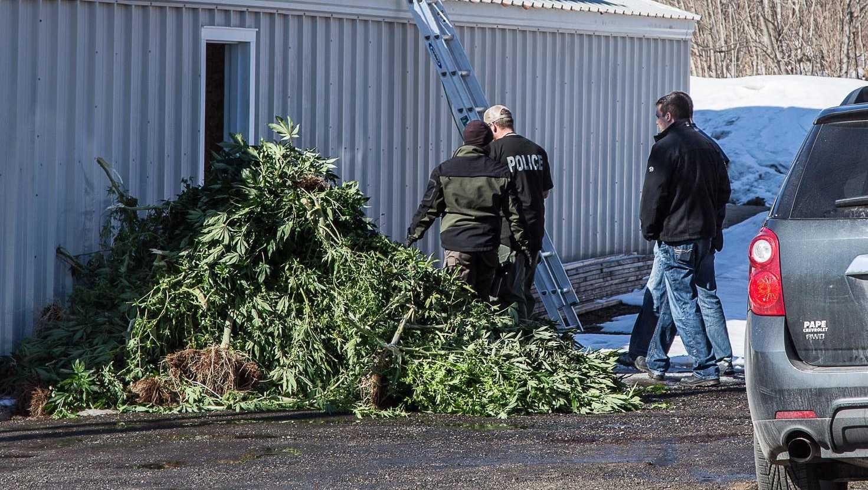 Lewiston marijuana raid