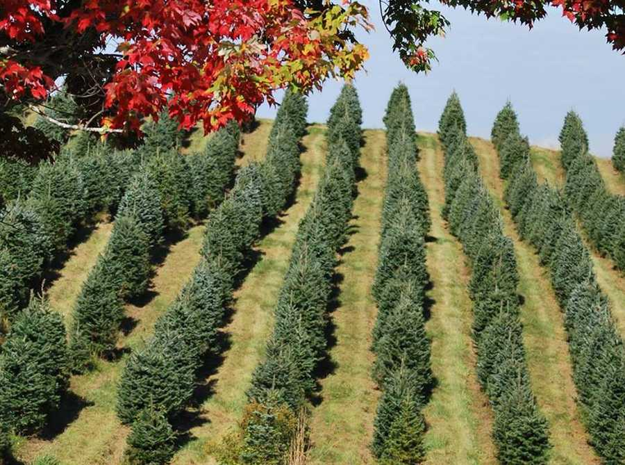 Viewers' Choice 2016: Best Christmas Tree Farm In New