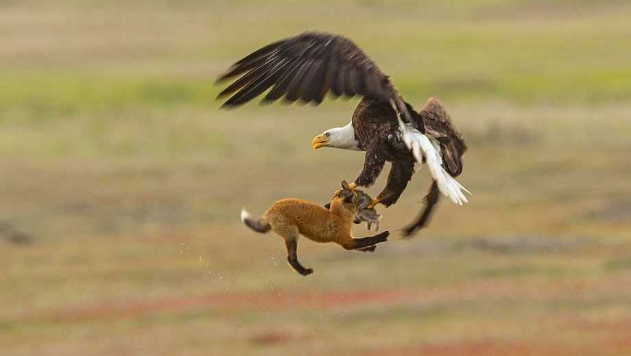 A bald eagle and a red fox tussle in mid-air over a European rabbit in San Juan Island National Historical Park in Washington state. The fight began when the bald eagle attempted to steal the rabbit away from the young fox, known as a kit. When the bald eagle grabbed the rabbit, it inadvertently also caught the fox, lifting both more than 20 feet into the air. The fox swung back and forth trying to take the rabbit back. The bald eagle released the fox and flew off with the rabbit. The whole struggle lasted 8 seconds. Both European rabbits (Oryctolagus cunuculus) and red foxes (Vulpes vulpes) were introduced to San Juan Island. The rabbits were introduced to the island in the 1890s by settlers&#x3B; foxes were introduced occasionally in the 1900s. The European rabbits in particular are considered an invasive species, turning the prairie into an unsustainable barren landscape with their vast burrows. This displaces small native mammals, such as the Townsend's vole. While bald eagles and foxes occasionally hunt rabbits, it is a relatively rare occurrence. Up to 97 percent of an eagle's diet consists of fish and birds&#x3B; red foxes more commonly eat berries, insects and small mammals, like the vole.