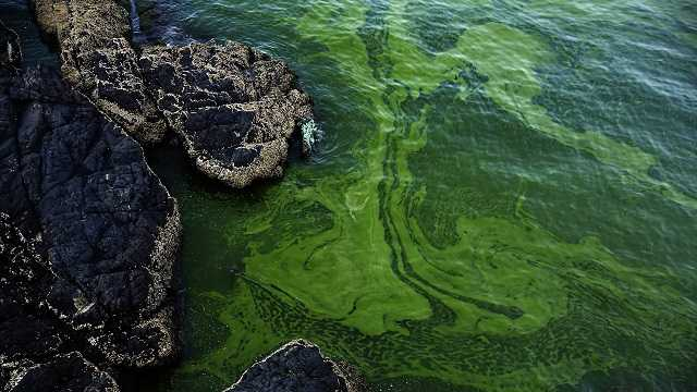 In this Mar. 3, 2017 photo, green algae swirls on the beach of Bandar al-Jissah in Oman. The Gulf of Oman turns green twice a year, when an algae bloom the size of Mexico spreads across the Arabian Sea all the way to India.