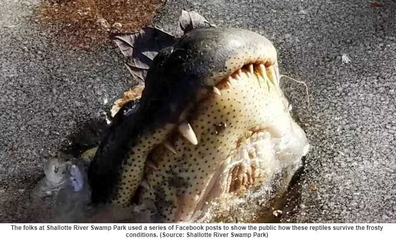 Alligator Noses Stick Out Above Frozen Water During the Winter